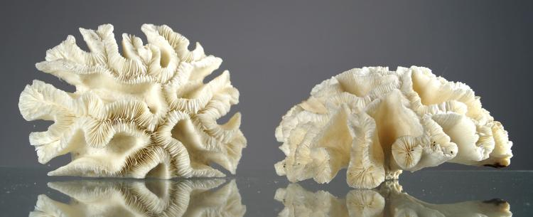 LOT (2) MAZE CORAL SPECIMENS. HEIGHT 4 1/2