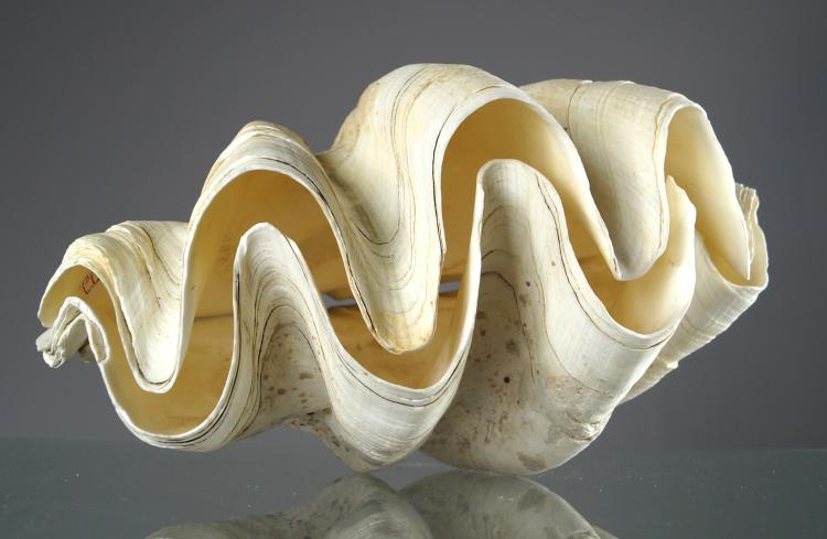 MATCHED PAIR GIANT CLAM SHELLS (TRIDACNA GIGAS). 9 X 15