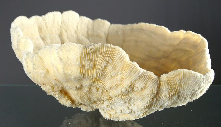 BOWL CORAL SPECIMEN (HALOMITRA SP). HEIGHT 7 1/2