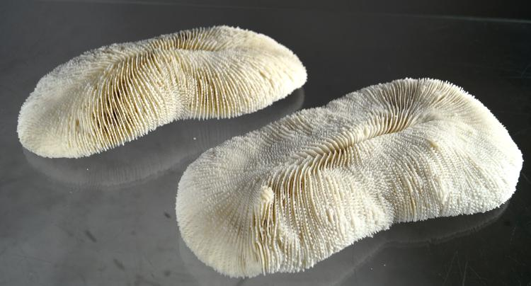 LOT (2) SLIPPER CORAL SPECIMENS (POLYPHILLIA SP). 10 3/4 X 5 1/2