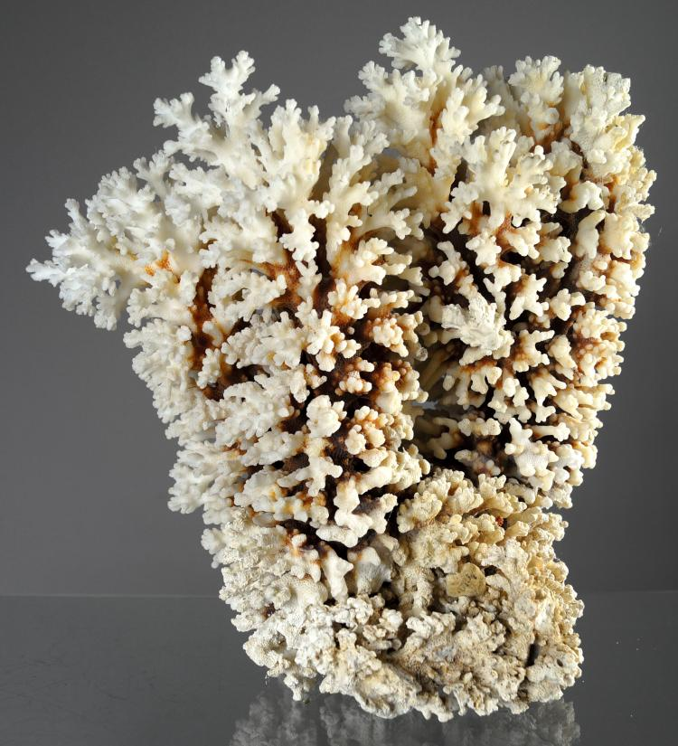 BROWN STEM CORAL SPECIMEN (POCILLOPORA SP). HEIGHT 13