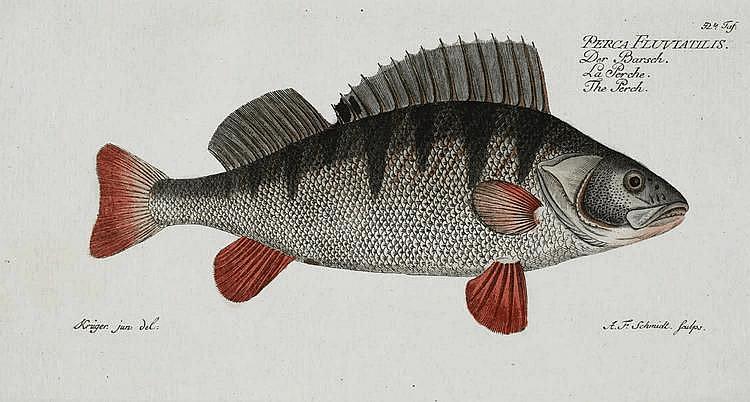 Bloch, Marcus Elieser  (1723 - 1799). 6 Bl. Fischdarstellungen aus