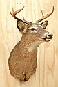 SMALL TAXIDERMIED RED DEER HEAD, 68CM HIGH