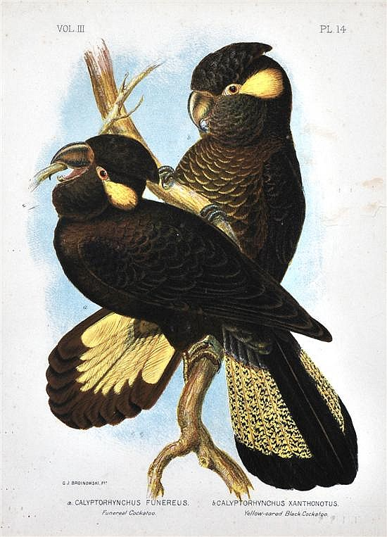 Gracius Joseph Broinowski (1837-1913) Funeral Cockatoo and Yellow Eared Black Cockatoo lithograph