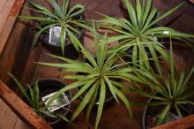 FIVE SMALL YUCCA PLANTS