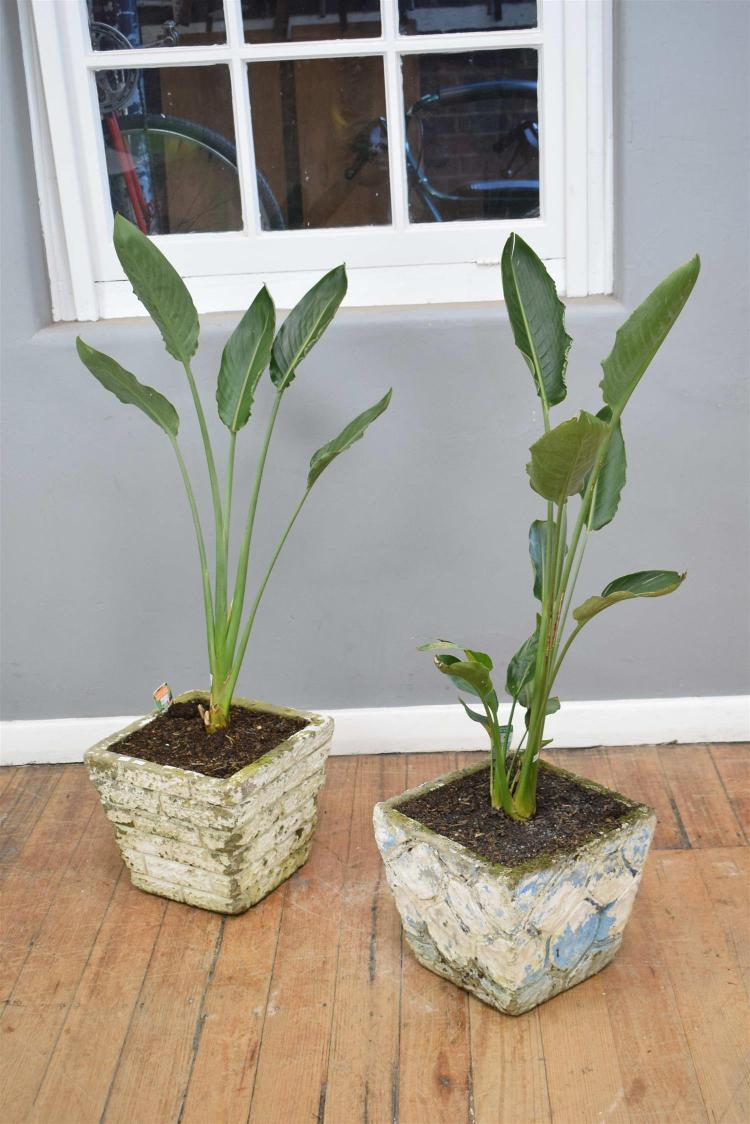 A Pair Of Bird Of Paradise Plants In Mid Century Planters