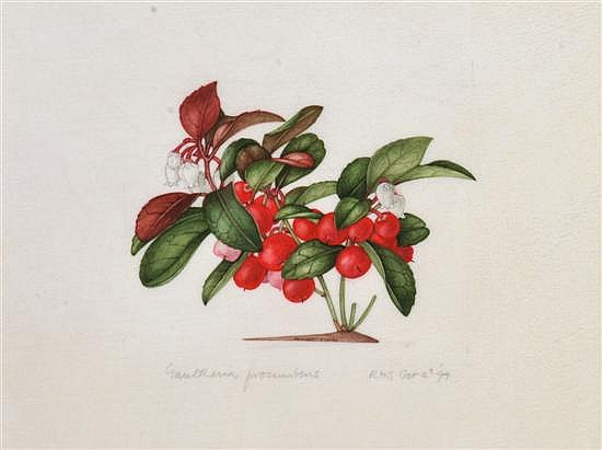 Margaret Stones (born 1920) Gaultheria Procumbens 1994 watercolour