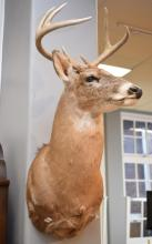 A TAXIDERMIED NORTH AMERICAN WHITETAIL DEER
