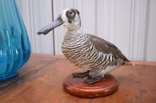 A TAXIDERMIED PINK EAR DUCK