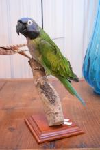 A TAXIDERMIED DERBIAN PARROT FROM TIBET