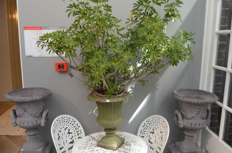 A CAST IRON URN WITH ESTABLISHED PLANT