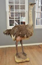 AN IMPRESSIVE TAXIDERMIED OSTRICH ON BASE