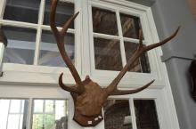 A STAG HORN MOUNTED ON SHIELD