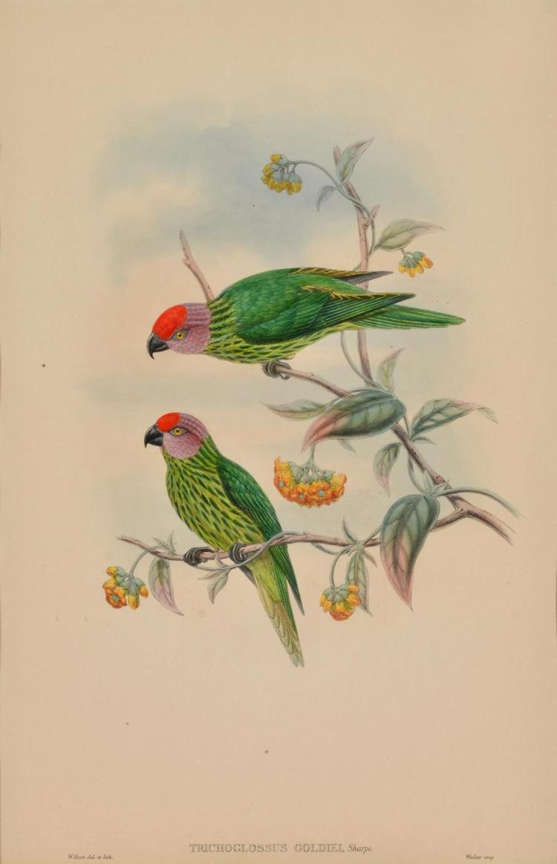 JOHN GOULD (1804-1881) Trichglossus Goldiel (Goldies Perroquet) lithograph
