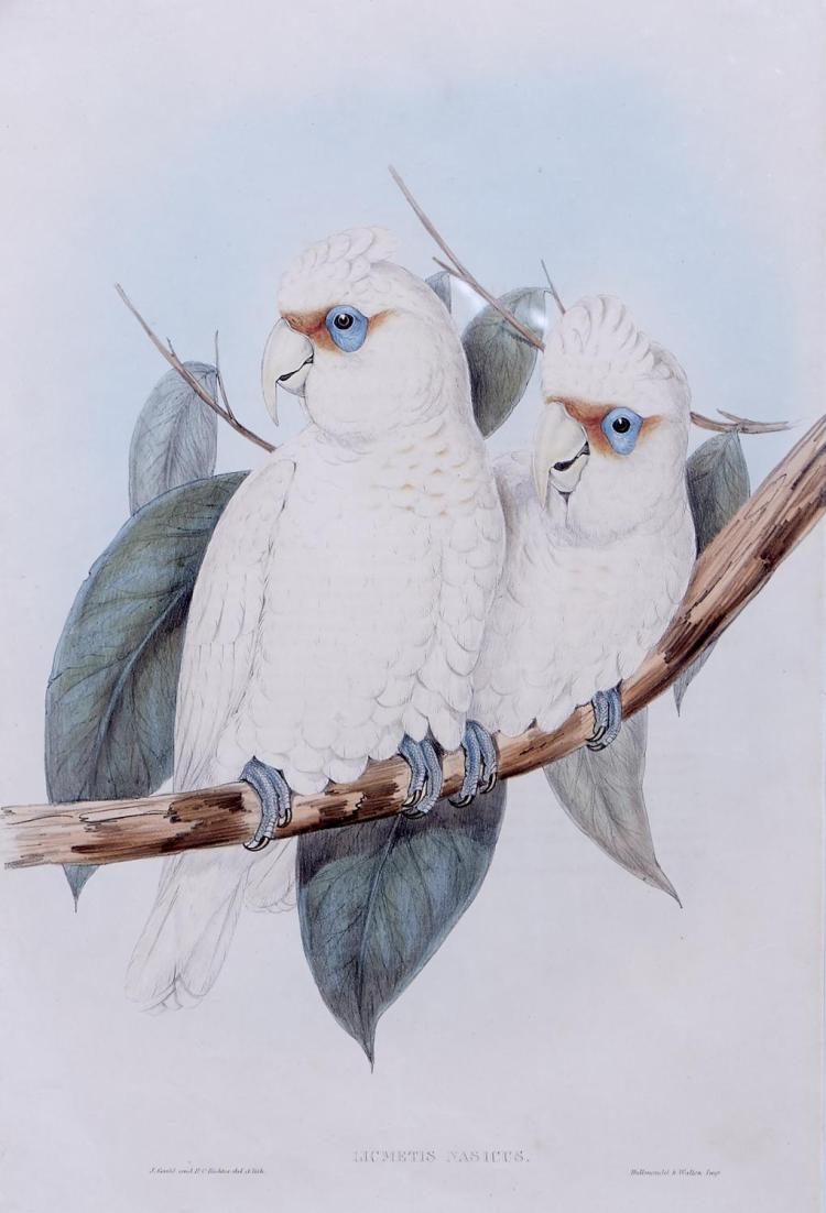JOHN GOULD (1804-1881) (LOCATION SYDNEY OFFICE - all enquiries phone 02 9362 9045) Licmetis Nasicus (Long-billed Cockatoo) hand-colo...