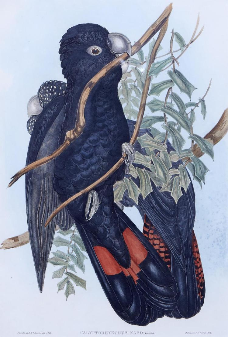 JOHN GOULD (1804-1881) (LOCATION SYDNEY OFFICE - all enquiries phone 02 9362 9045) Calyptorhynchus Naso (Western Black Cockatoo) han...