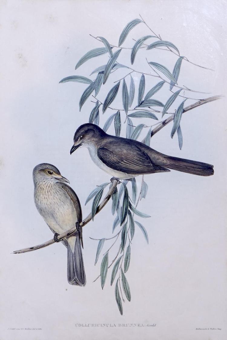 JOHN GOULD (1804-1881) (LOCATION SYDNEY OFFICE - all enquiries phone 02 9362 9045) Colluricincla Brunnea (Brown Colluricincla) litho...
