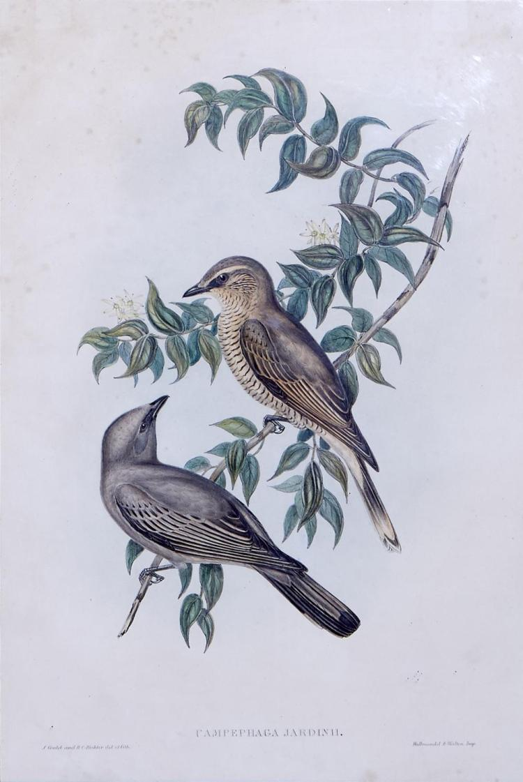 JOHN GOULD (1804-1881) (LOCATION SYDNEY OFFICE - all enquiries phone 02 9362 9045) Campephaga Jardinii (Jardine's Campephaga) lithog..