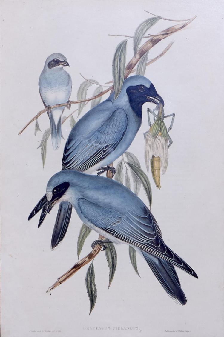 JOHN GOULD (1804-1881) (LOCATION SYDNEY OFFICE - all enquiries phone 02 9362 9045) Graucalus Melanops (Black-faced Graucalus) lithog...