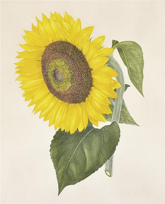 MARGARET STONES (BORN 1920) Helianthus Annuus, Kew September 1969 watercolour