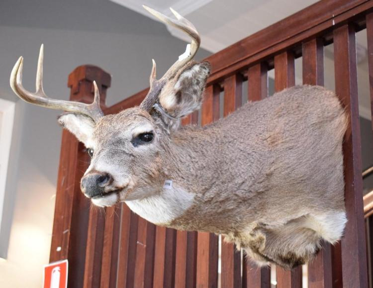 A TAXIDERMIED WHITE TAIL DEER USA