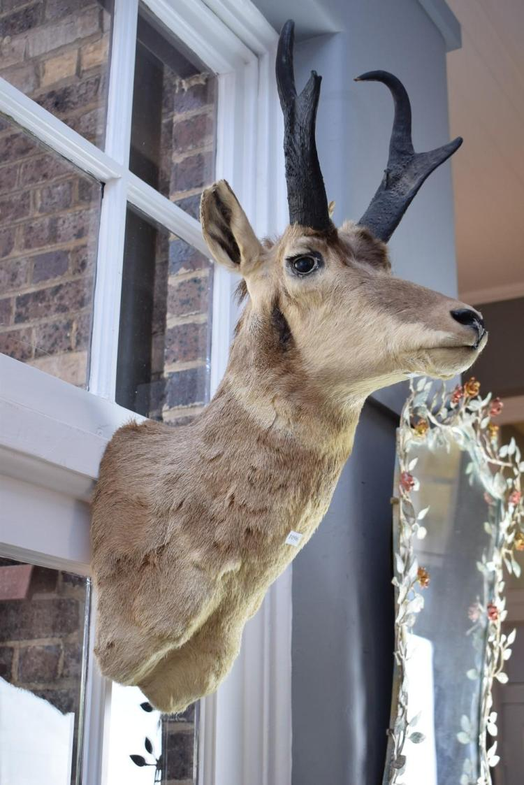 A TAXIDERMIED PRONGHORN ANTELOPE