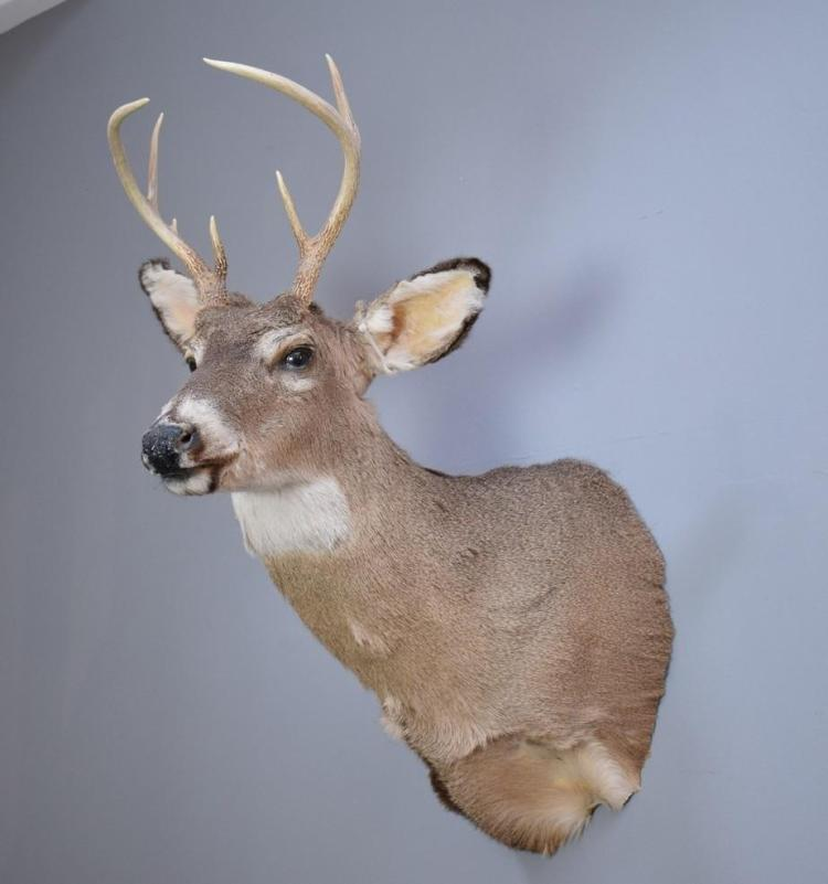 A TAXIDERMIED WHITETAIL DEER - USA
