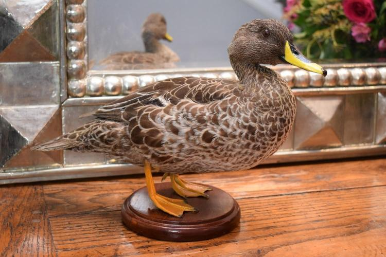 A TAXIDERMIED AFRICAN YELLOW BILL DUCK