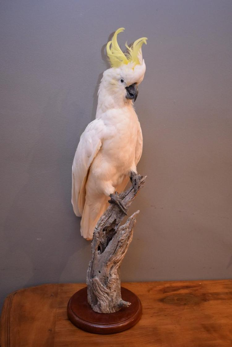 A TAXIDERMIED WHITE COCKATOO