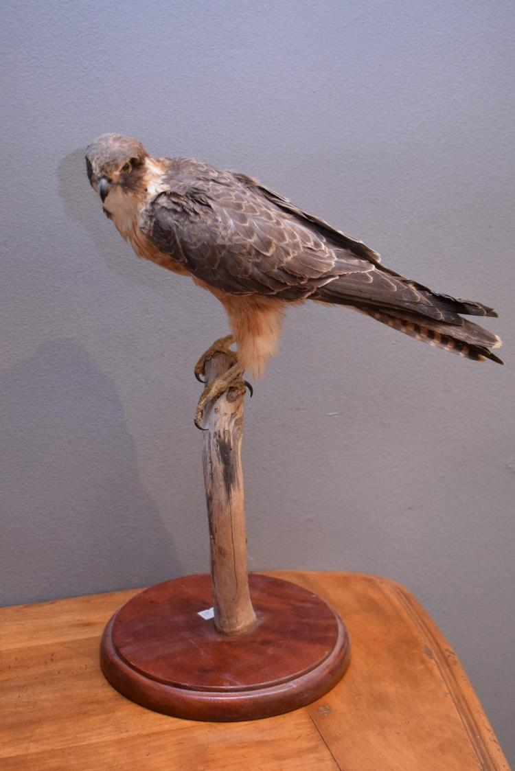 A TAXIDERMIED PEREGRINE FALCON