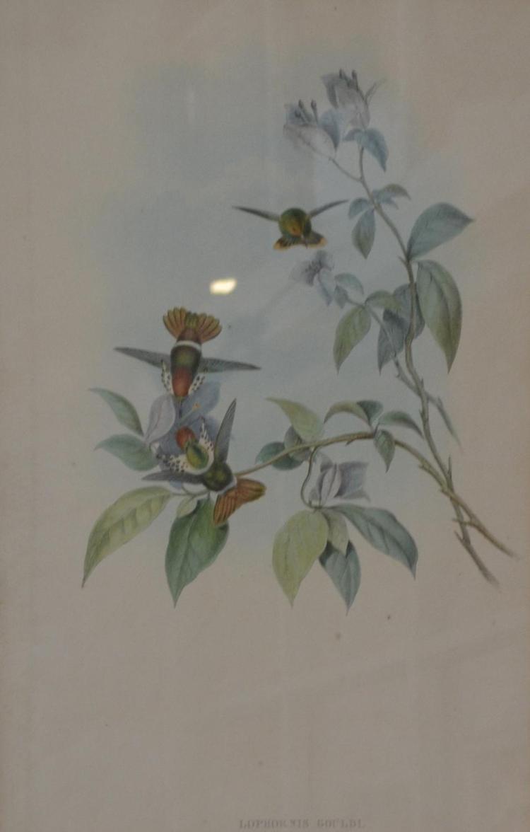 JOHN GOULD, LOPHORNIS GALDI, ORIGINAL HAND COLOURED LITHOGRAPH, 54 X 36 CM