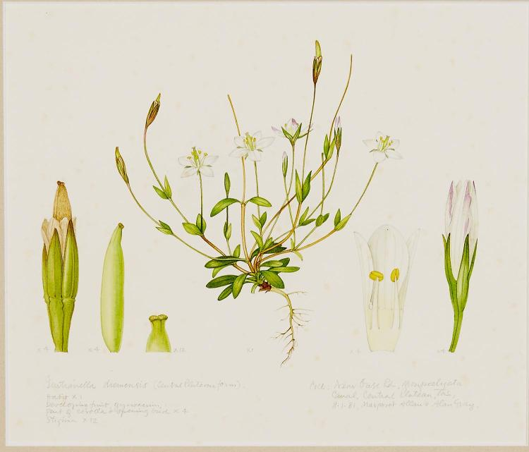MARGARET STONES (born 1920) Gentianella Diemensis (Central Plateau Form) 1981 watercolour
