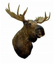 Large Vintage Moose Head & Shoulder Taxidermy