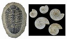 Large Trilobite Fossil & (5) Ammonite Fossils