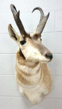 Taxidermy Pronghorn Antelope Shoulder Mount