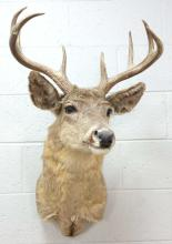Taxidermy Whitetail Deer Buck Shoulder Mount
