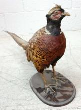 Taxidermy Pheasant Mount