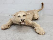 Full Taxidermy Mountain Lion Mount