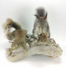 Squirrels on a Branch Taxidermy Full Mounts