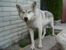 Alaskan Wolf Taxidermy
