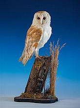 Taxidermy - A barn owl perched with head inclined to one side on a gatepost,