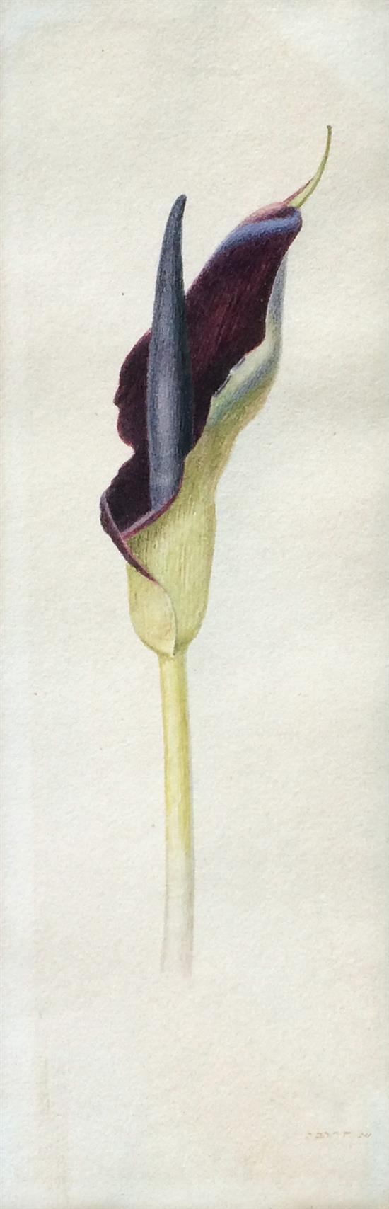 Shmuel Charuvi 1897-1965 (Israeli) Iris watercolor on paper