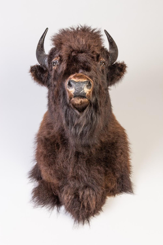 A mounted Buffalo Head.