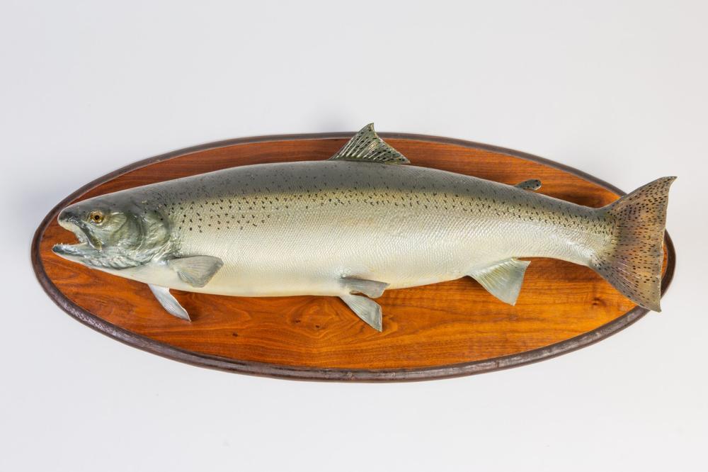 A mounted salmon. 36 x 13 in (91.5 x 33 cm)