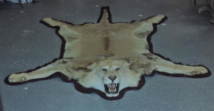 Vintage Male African Lion Skin Taxidermy Rug w Head & Paws
