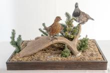 Two Spruce Grouse in Glass Case