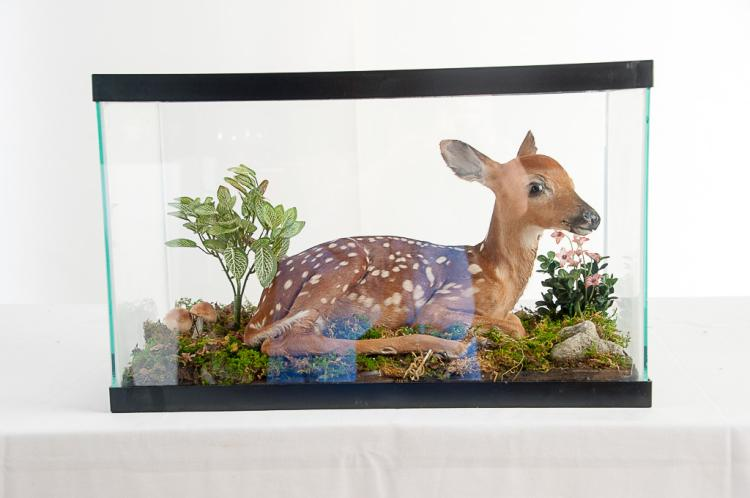 Baby Deer 5-6 Days Old in Glass Case