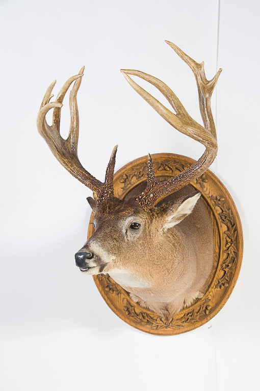 14 pt. Whitetail Deer Head Mount