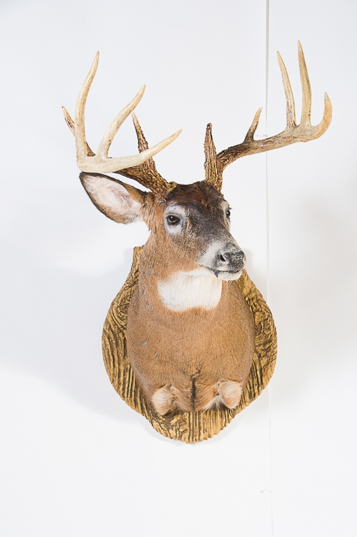 10 pt. Whitetail Deer Wall Mount