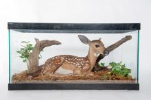Baby Whitetail Fawn in Glass Case